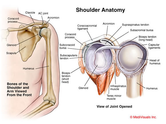 Image from http://www.orthopaedicsurgeon.com.sg/wp-content/uploads/2011/10/shoulder-anatomy.jpg